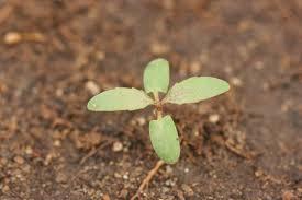 Cottonwood Tree Flowers - common cottonwood u2013 populus deltoides msu plant and pest