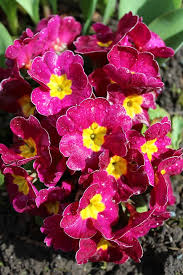 Pink Primrose Flower - free photo primrose flowers spring pink free image on