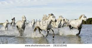 camargue white horse wallpapers black horse running stock images royalty free images u0026 vectors