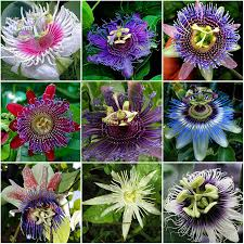 online buy wholesale passion flower plant from china passion