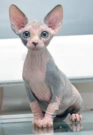 Amado O gato Sphynx - A primeira raça de gato sem pêlo | Pinterest | Ser  &OC45