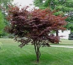 best 25 japanese maple tree ideas on