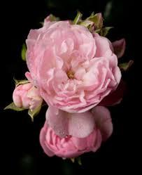 G Stig K Hen Kaufen Bodendeckerrose The Fairy Rosa The Fairy Günstig Online Kaufen