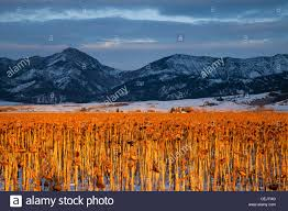 agriculture field mature unharvested sunflower plants late
