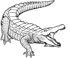 black and white alligator drawing pictures to pin on pinterest