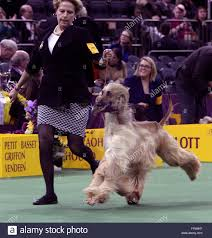 afghan hound westminster new york usa 15th february 2016 gch pahlavi itz not my first