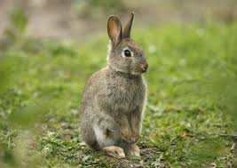 rabbit bunny australia s battle with the bunny science features abc science