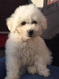 bichon frise x jack russell bichon frise puppy in stonehaven aberdeenshire gumtree