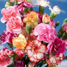 Wholesale Carnations Mini Carnations Global Rose