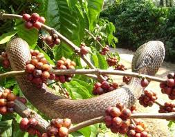 Snake Fruit Tree - human snake conflict inside coffee forests ecofriendly coffee