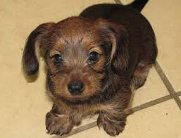 short haired dorkie mixes dorkie yorkshire terrier and dachshund mix