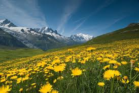 yellow flowers meadow of yellow flowers and mountains took this photo for flickr