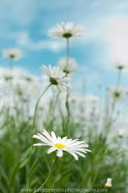 286 best daisy and her family plants flowers images on