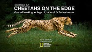 cheetahs on the edge u2014director u0027s cut on vimeo