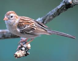 Sparrow by Field Sparrow Mdc Discover Nature