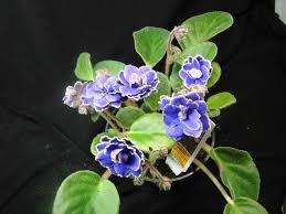 house plants with purple flowers darxxidecom