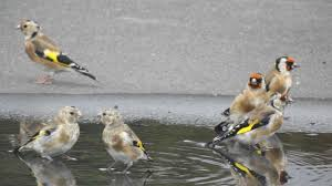 goldfinch goldfinches playing and bathing have a lot of fun