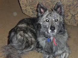 australian shepherd long hair lost black grey white markings long hair australian shepherd mix