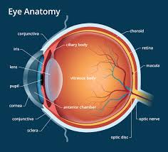 Eye Anatomy And Physiology Human Eye Anatomy Parts Of The Eye Explained