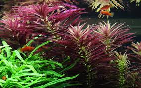 Aquascape Aquarium Plants Limnophila Hippuroides Aquascape Aq End 5 26 2018 3 15 Pm