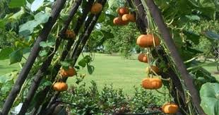 What Vegetables Need A Trellis Training Pumpkins And Squash To Grow On A Trellis There U0027s Some