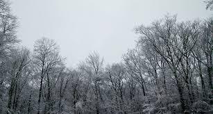 winter tree tops a sudden snow in suburban ct l a