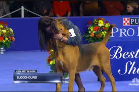 national show 2014 results nathan the bloodhound wins best in
