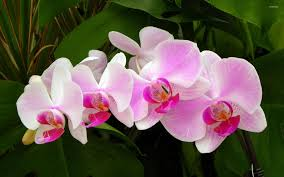 pink orchids pink orchids 2 wallpaper flower wallpapers 40217