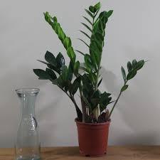 Indoor House Plant Buy Indoor Plants By Waitrose Garden