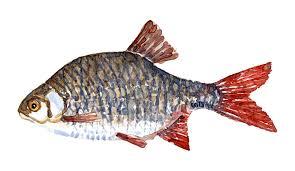 rudd freshwater fish watercolor u2013 frits ahlefeldt laurvig logbook