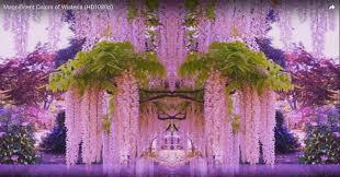wisteria meaning wisteria 04 jpg