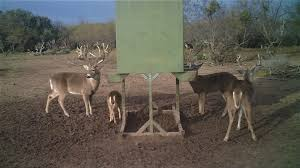 Ground Blinds For Deer Hunting Texas Whitetail Deer Hunting