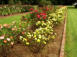 roses of many names picture of lsu rural museum baton
