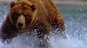 Animal Planet Documentary Grizzly Bears Full Documentaries - walking with giants the grizzlies of siberia about nature pbs