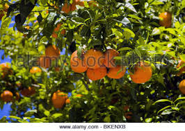 naranjo orange tree stock photo royalty free image 19873771 alamy