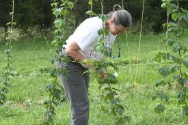 local farmers turning to hops growing lifestyles dailyprogress com