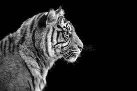 portrait of sumatran tiger in black and white stock photo image of