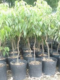 jason nursery fruit trees landscape trees plants bonsai