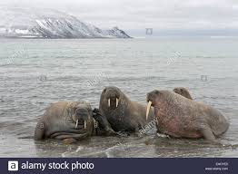 pod of walruses odobenus rosmarus on a beach phippsøya