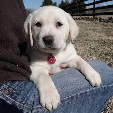 Comfort Retriever Puppies For Sale Lab Mastiff And Mastador Puppies For Sale At Covenant Farm Puppies