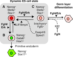 the role of fgf erk signaling in pluripotent cells development