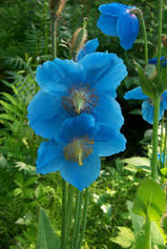 Late Blooming Perennials Blue Flowers For Your Garden And Home