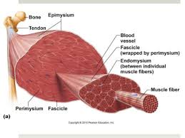 College Anatomy And Physiology Notes Anatomy U0026 Physiology Lecture Notes Muscles U0026 Muscle Tissue