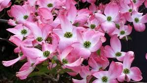 dogwood flowers dogwood images pixabay free pictures