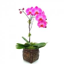 phalaenopsis orchid butterfly orchid in charlottetown pe hearts