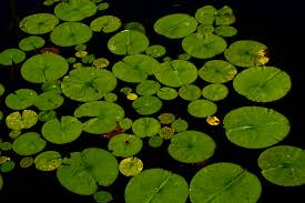 free stock photo of lake leaves pond