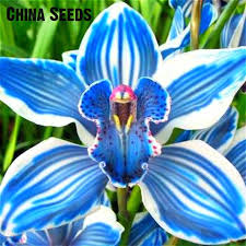 orchid plants for sale for sale 100 pcs orchids bonsai blue butterfly orchid seeds