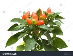 top orange ornamental capsicum plants isolated stock photo