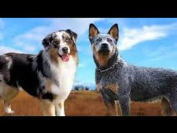 images of australian shepherd australian shepherd vs australian cattle dog australian