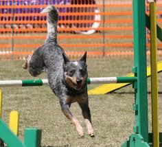 australian shepherd top speed top 10 best dogs for agility training herepup